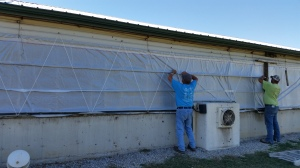 Fixing Curtains on the pig barn
